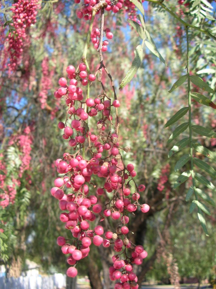 brazilian-pepper-tree-berries
