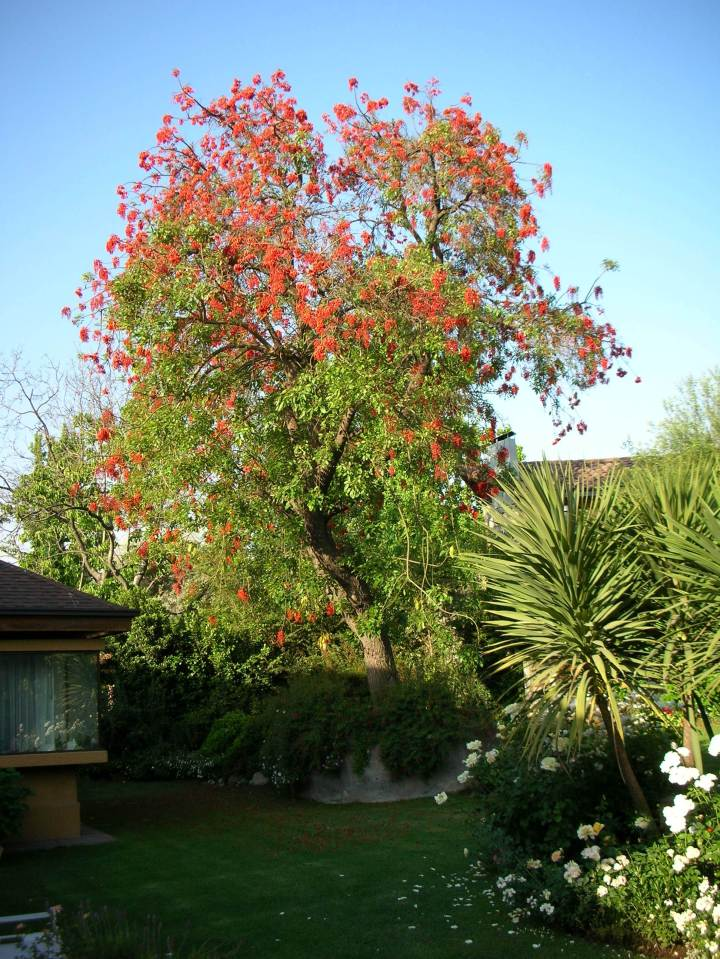 erythrina-crista-galli-brazilian-coral-tree