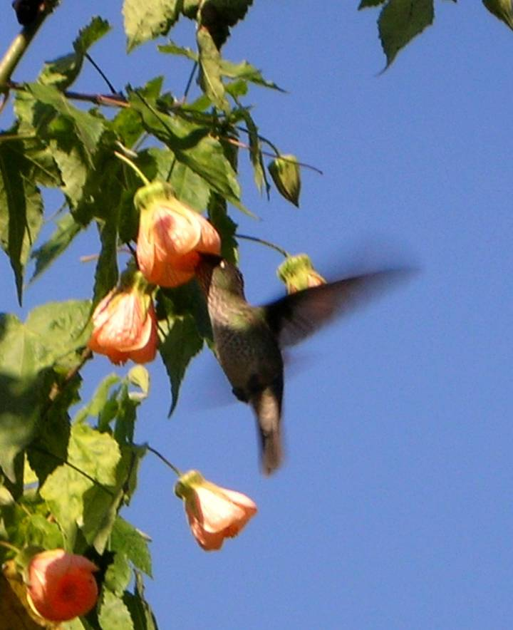 fire-crown-hmmingbird-in-abutilon-tree