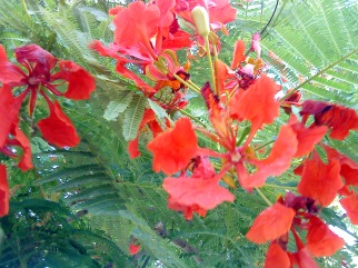 flame-tree-flowers