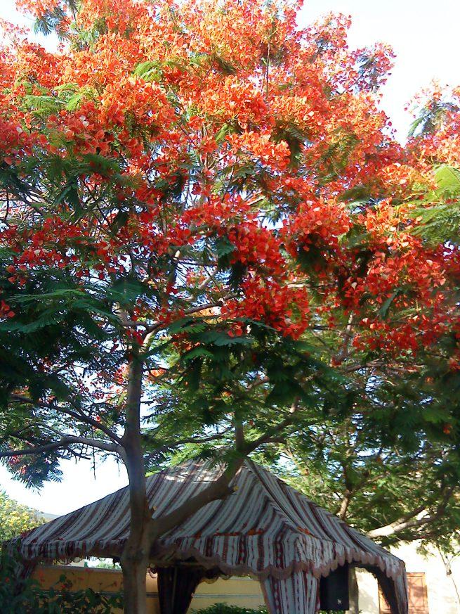 flame-tree