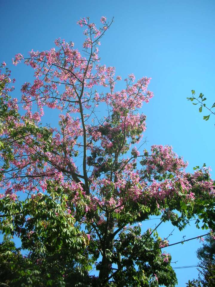 floss-silk-tree1-chorisia-speciosa-n