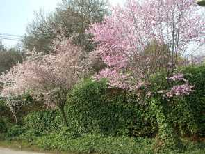 flowering-cherries
