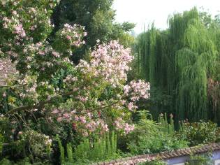 magnolia-pink-flowering-and-weeping-willow