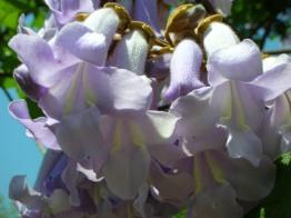paulownia-tree-flower