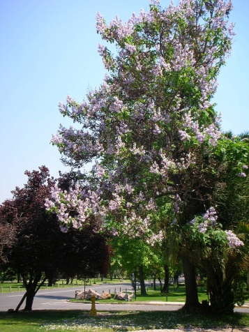 paulownia-tree