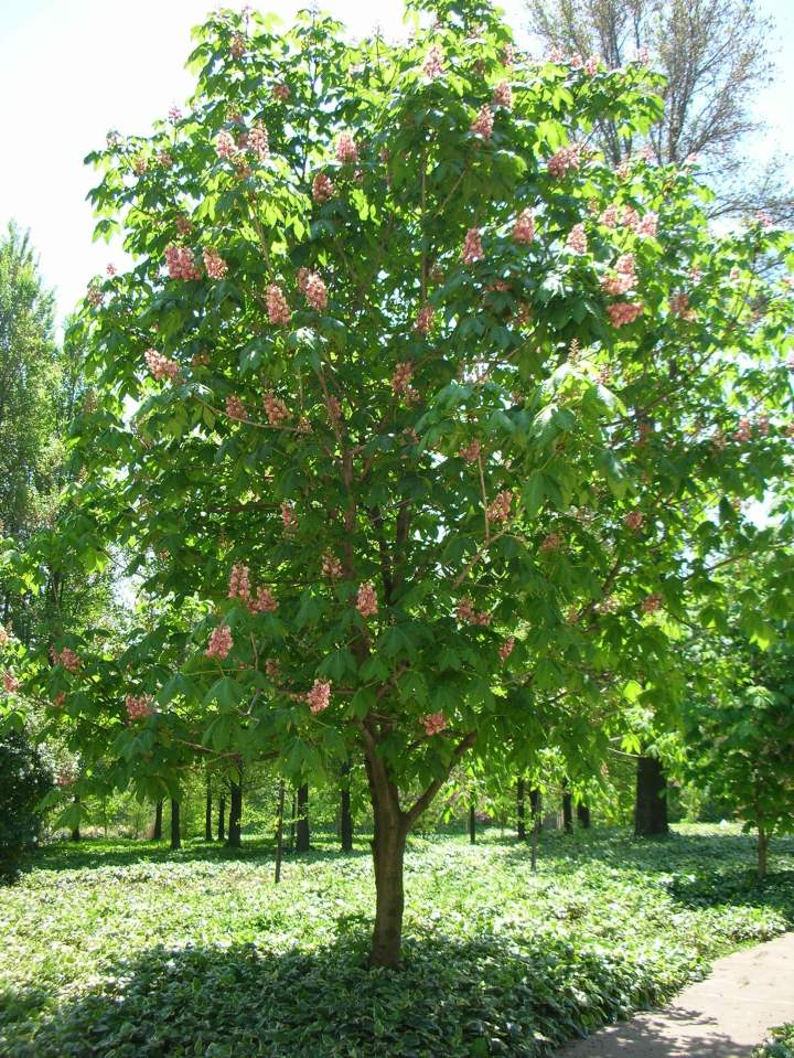 red-flowering-chestnut-tree