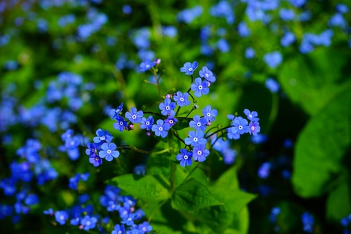 forget-me-not-1365858__340