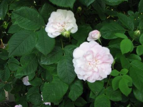 old alba rose