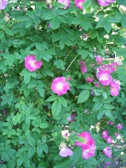 rugosa rose