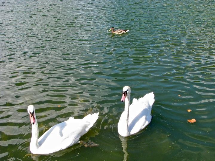 swans on Swan lake